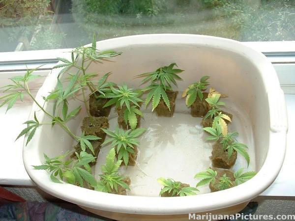 Cannabis Clone