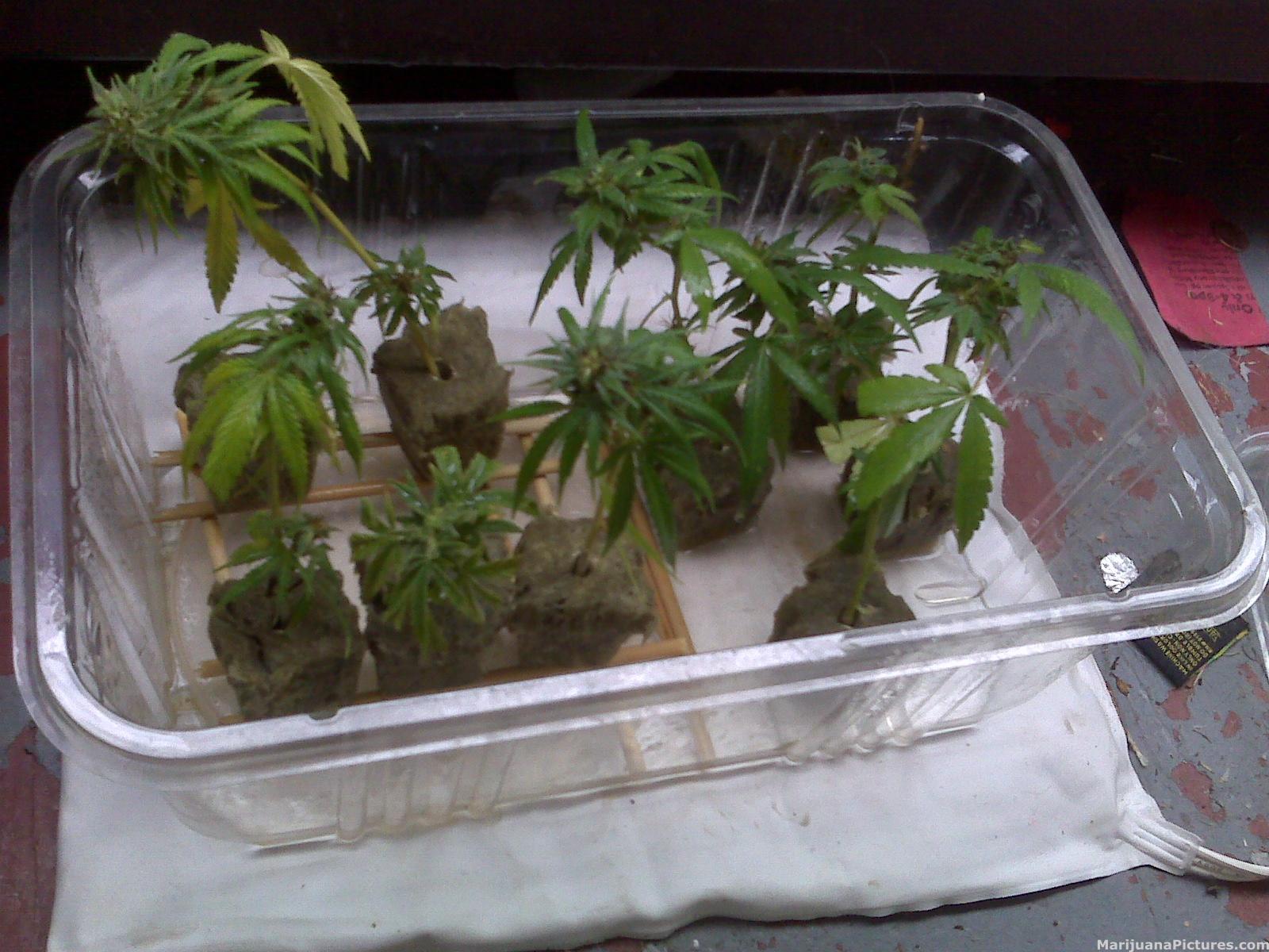 Weed clones