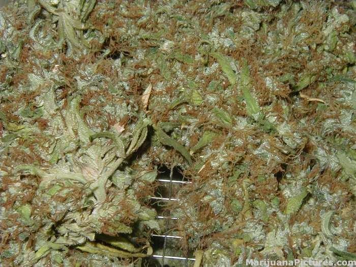 Dried buds