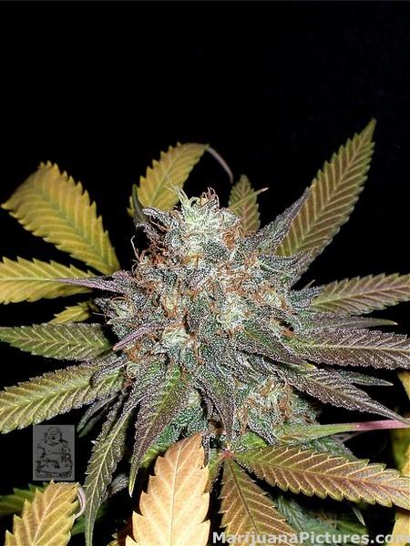 Frosty Bud