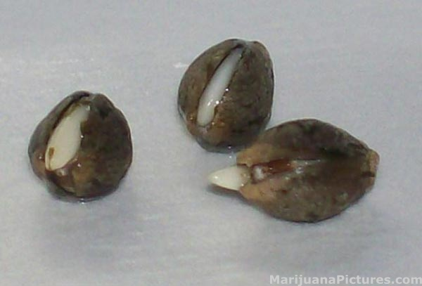 Germinated seed