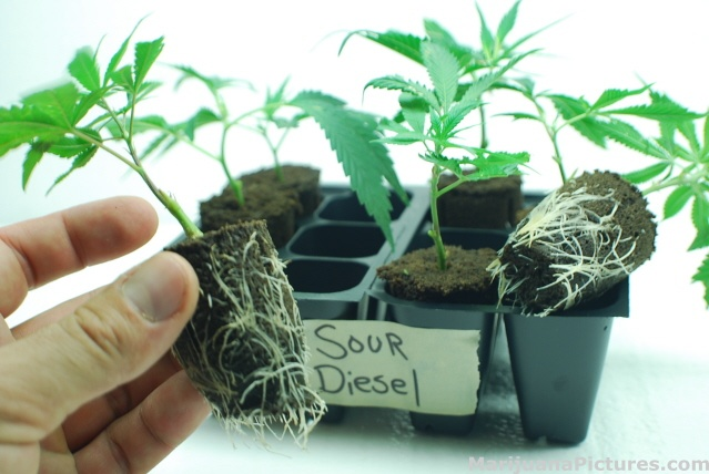 Sour diesel clones